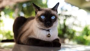 100+ Best Siamese Cat Names | Female and Male | Pawsome Kitty