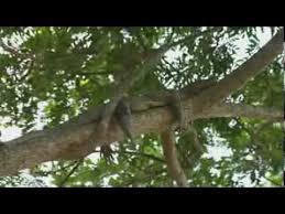 Crocodiles Can Climb Trees Researchers In Climbing Study Observed Youtube