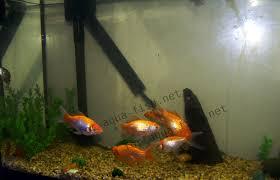 39+ Best Aquarium Setup For Goldfish PNG