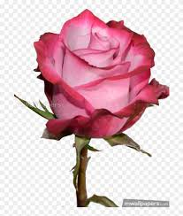 hd rose flower wallpapers 1080p clipart