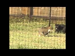Cats On Video Trying To Escape Purrfect Fence Youtube