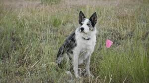 Investigating China Row: Cadaver-sniffing dogs find 12 unmarked graves  outside Helena-area cemetery | State & Regional | billingsgazette.com