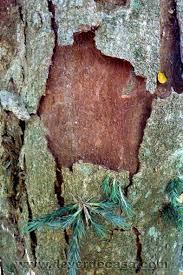 De Verde Casa: Dia do Pau Brasil - Como indentificar a árvore