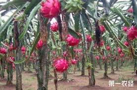 掌握几种方法种出优质火龙果- 农业要闻- 第一农经网