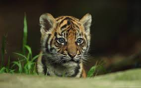14 Baby Tiger Wallpapers - WallpaperBoat