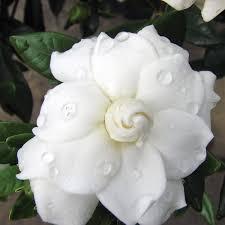 gardenia double mint pp gardenia