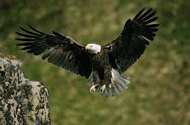 American Bald Eagle Wallpaper Wall Mural Self Adhesive Contemporary Wall Decals By Magic Murals