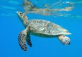 Volunteers on St. John Patrol Beaches for Sea Turtle Nests   St. John Source