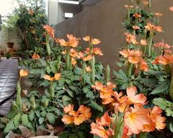 how to grow and care for crossandra