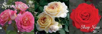 rose bushes garden rose bushes