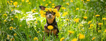 Сute Puppy, A Dog In A Wreath Of Spring Flowers On A Flowering ...