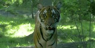 Tiger at NYC's Bronx Zoo tests positive ...