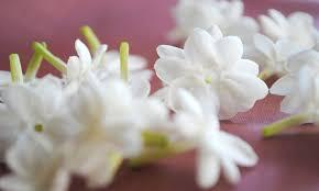 صور ورد الياسمين شاهد بالصور اجمل النباتات العطرية صباح الحب