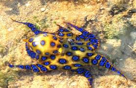 Blue Ringed Octopus - Description, Habitat, Image, Diet, Interesting Facts