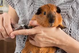 how to take care of a guinea pig pet