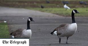 Geese To Be Banned From Regent S Park Boating Lake Because Visitors Keep Slipping Over