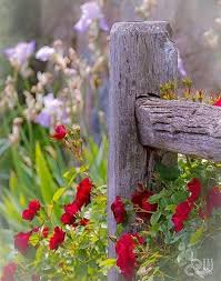 Roses At Fence Post By Janny Dangerous Beautiful Flowers Flowers Garden Fence