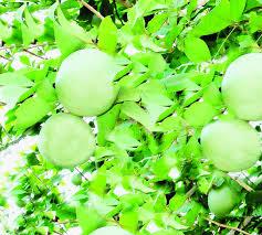 bael a wonderful fruit