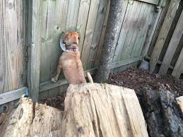 My Dog Using Her Fence Window Dogpictures