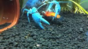 Blue lobster eating my platy - YouTube