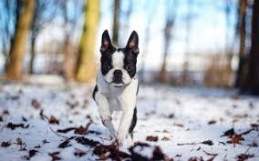 6 boston terrier hd wallpapers