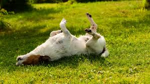 5 natural remes to help your itchy dog
