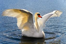 Norwegian authorities to put down violent swan - The Local