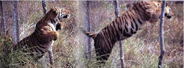 tigers jumping over fence photo credit robin hamilton | Bush Warriors