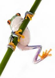 Red Eyed Tree Frog Wall Decal Wallmonkeys Com
