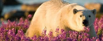 Polar Bear Summer Off The Fence