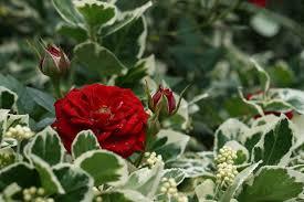 صور لـ حديقة الوردة أحمر ورود النباتية