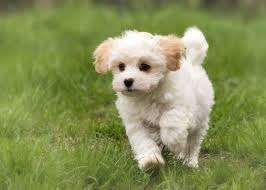 pomeranian poodle mix all things dogs