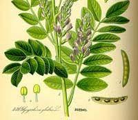 2012年の薬用植物」に甘草が選ばれる | ワシントン条約情報と野生生物 ...