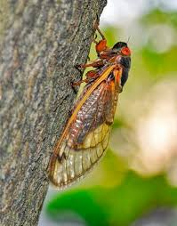 Not even COVID-19 can stop the cicadas that are coming to Fayette ...
