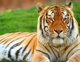 tiger wallpapers free group 77