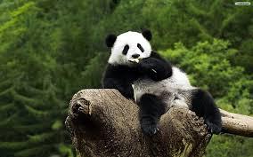 panda bear wallpaper free picserio