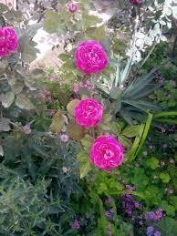 قائمة أنواع الورد ويكيبيديا