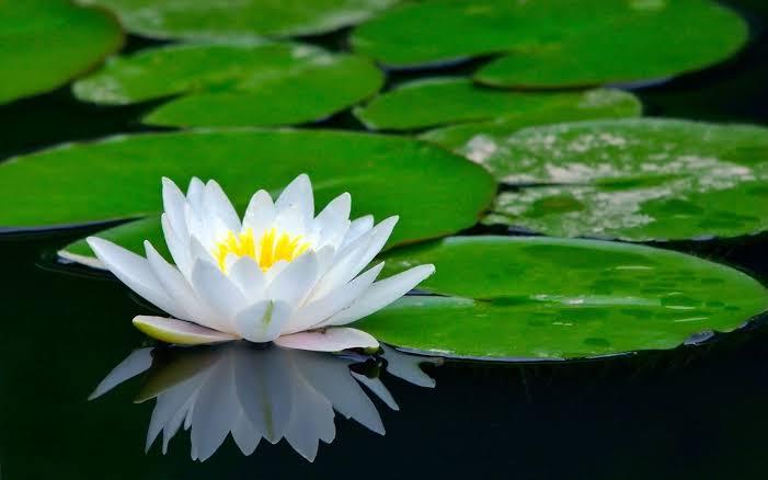"""Resultado de imagen de planta loto"""""""