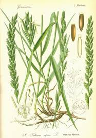 Image result for triticum repens