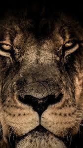 wallpaper lion face predator look