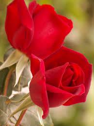 اسماء الورود العربية تعرف على الورد باشكاله واسمائه بالصور