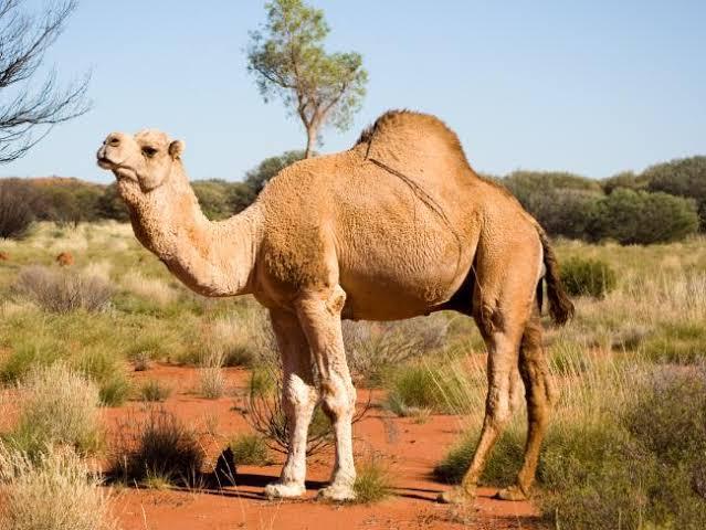 """Image result for camel austrelia"""""""