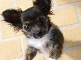 chihuahua rescue are you looking to