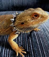diy baby bearded dragon harness