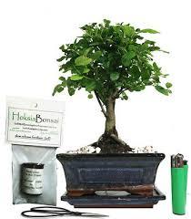 sagaritia indoor bonsai tree gift set
