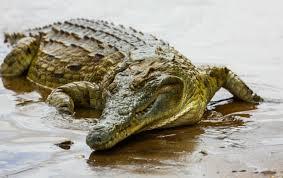 Εσύ μπορείς να ξεχωρίσεις έναν κροκόδειλο από έναν αλιγάτορα ...