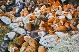 Eureka man, rescue work to rehome 700 guinea pigs – Times-Standard