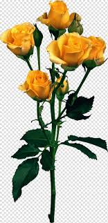 حديقة الورود وردة الشاطئ وردة صفراء Png