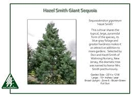 Sequoiadendron giganteum 'Hazel Smith' - Iseli Nursery