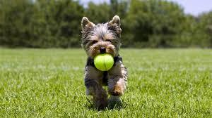 toys for yorkshire terrier